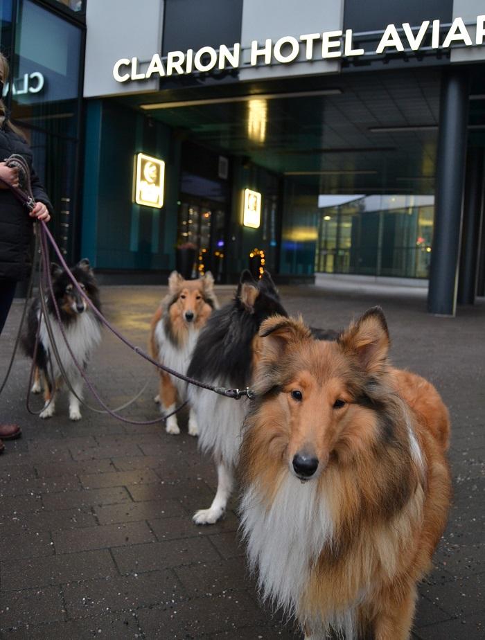 Collietytöt menossa viettämään uuttavuotta Clarion Aviapoliksen Happy Dog -tapahtumaan.